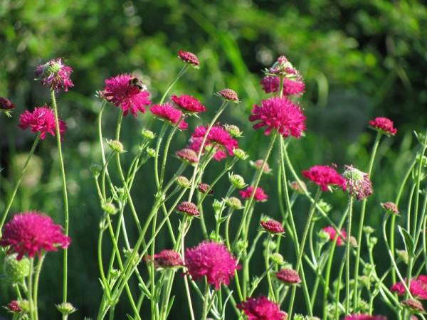 Mazedonische Witwenblume – Knautia macedonica